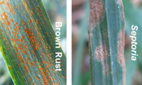 Controlling rusts in winter wheat