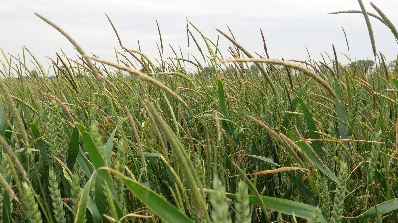 Blackgrass in Wheat