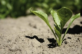 Young sugar beet plant - Bayer Crop Science
