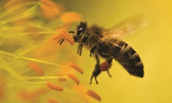 Bee - Bayer Crop Science