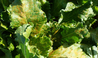 Rust in Sugar Beet - Bayer Crop Science