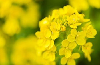 Oilseed Rape - Bayer Crop Science