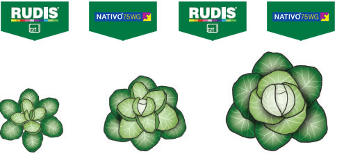 Rudis Nativo - cabbages 2017