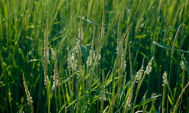 Black-grass - Bayer Crop Science