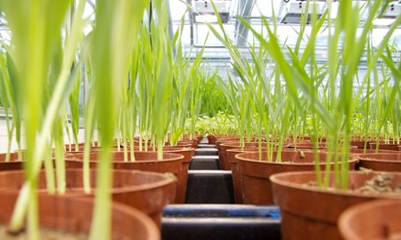 Wheat crop in plan pots in a large lab or greenhouse