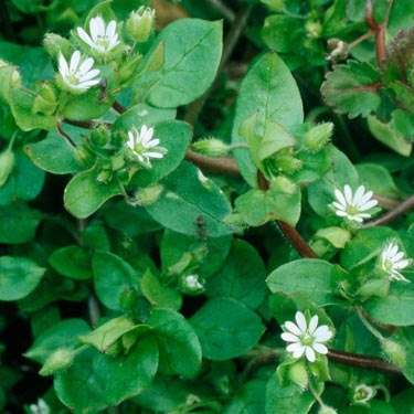 Chickweed - mature © Alamy Ltd