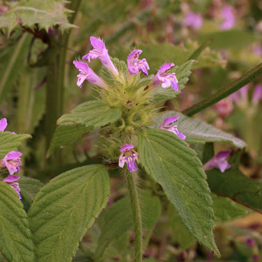 Day-nettle/Hemp-nettle - mature