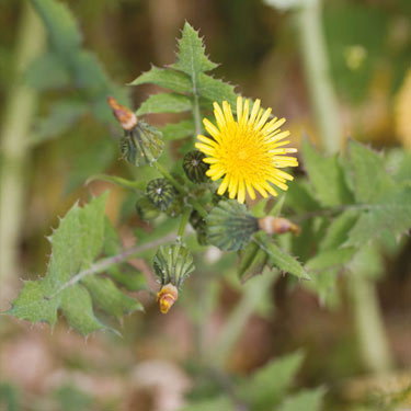 Perennial sowthistle - mature