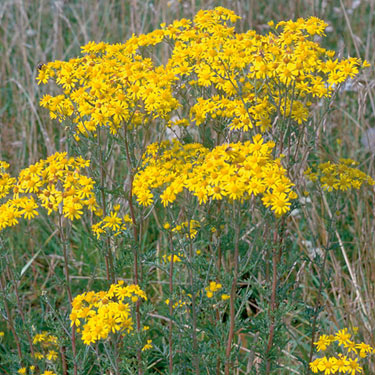 Ragwort - mature