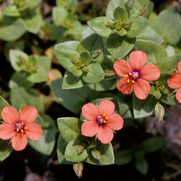 Scarlet pimpernel - mature