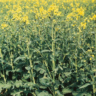 Volunteer oilseed rape - mature