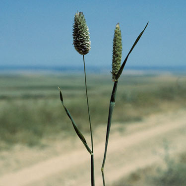 Canary grasses - mature