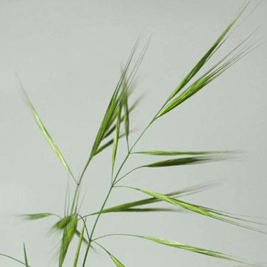 Great brome - mature