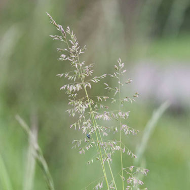 Smooth Meadow-grass - mature