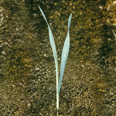 Wild Oat - young