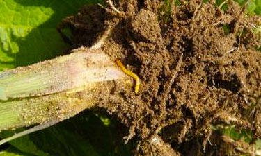 wireworm damage on maize