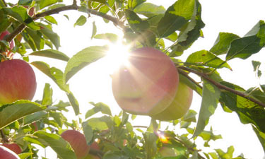 apples in sun