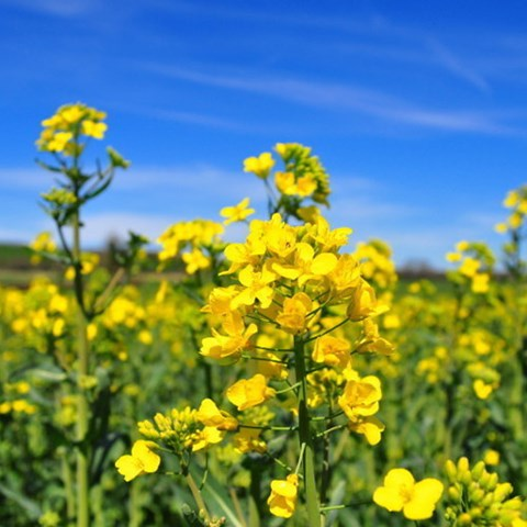 high yield OSR