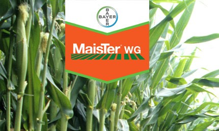 MaisTer WG on maize