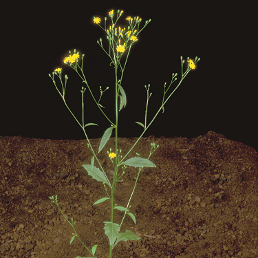 Nipplewort weed control bayer cropscience a tall branching annual with small yellow flowers mightylinksfo Gallery