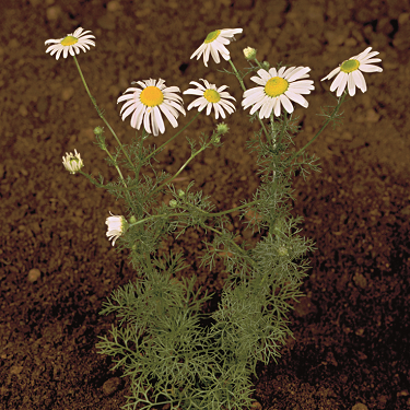 Scentless mayweed 3
