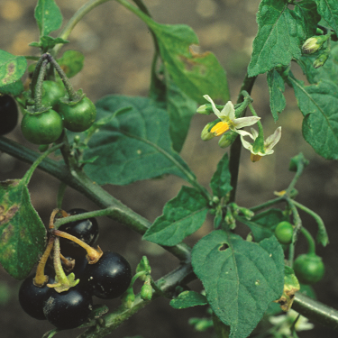 Black nightshade 3
