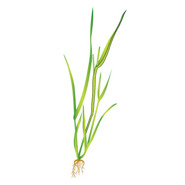 Canary-grass 1