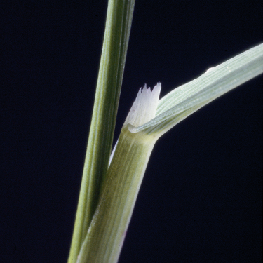 Black-grass ligule photo