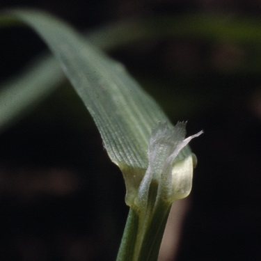 Creeping bent - Ligule photo