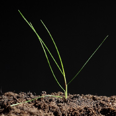 Red fescue seedling
