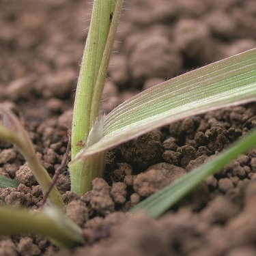 Great brome - ligule - photo
