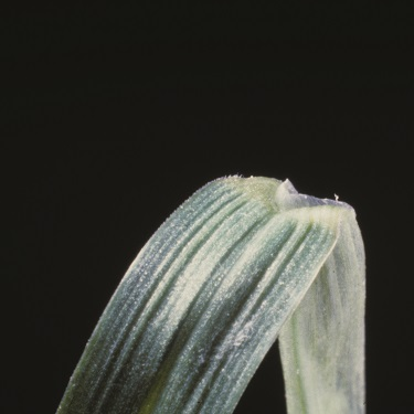 Smooth meadow-grass ligule photo