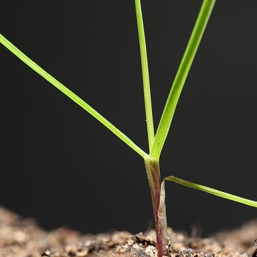 Tall fescue seedling (1)