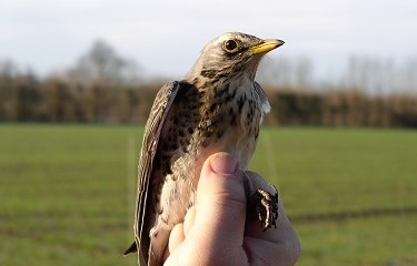Bird count, Fieldfare