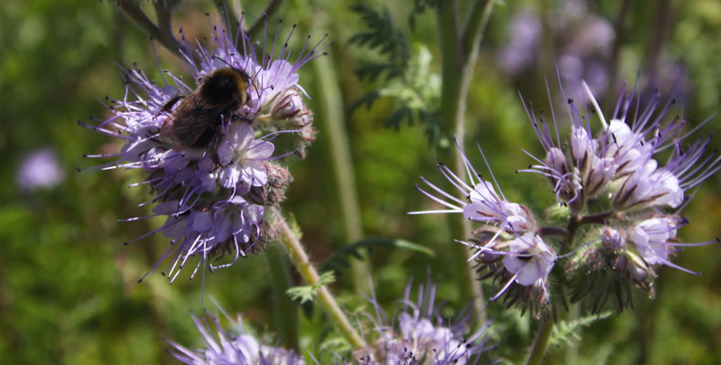 Phacelia and bees at Chishill 790x400