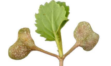 Downy Mildew symptoms on early OSR leaves