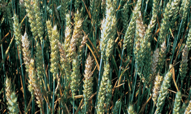 True Fusarium field infection