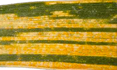 Barley leaf infected with yellow rust